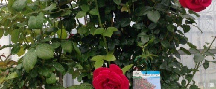 Et pourquoi un rosier pour la fête …